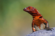 Lava Lizard female (Microlophus delanonis)<br /> Puenta Suarez, Expañola Island, GALAPAGOS ISLANDS<br /> ECUADOR.  South America