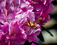 Snowberry Clearwing Moth on a Rhododendron Flower. Image taken with a Nikon D800 camera and 105 mm f/2.8 macro lens (ISO 640, 105 mm, f/8, 1/2000 sec).