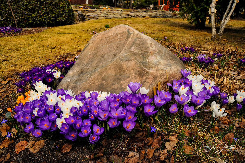 Gallie/McCreath Residence gardens- Crocus colonies, Greater Sudbury, Ontario, Canada