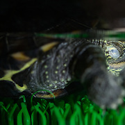 This is a juvenile 10cm Chinese pond turtle (Mauremys reevesii) sleeping in his terrarium, with nictitating membrane covering his eyes. This species is semiaquatic in the wild, found in marshes, ponds, streams and similar bodies of shallow water. It is listed as Endangered on the IUCN Red List, threatened by several causes, including competition from introduced species, loss of habitat, and use in Chinese medicine. This species is also popular in the global pet trade. This individual was found on a road in Japan, far from water, when it was only 2.8cm, perhaps picked up and transported by a crow shortly after birth. Though the species had earlier been considered native to Japan, genetic testing in recent years suggests multiple introductions from outside Japan.
