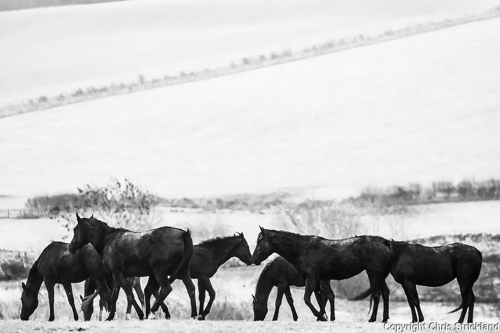 Selkirk, Scottish Borders, UK. 14th November 2018. Mares, foals, and yearlings graze on Over Whitlaw farm near Selkirk.