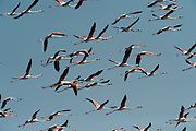 Greater Flamingos (Phoenicopterus ruber)<br /> about 25,000-30,000 flamingos over winter in Doñana but very few breed there as the wetlands dry up before the chicks are completely grown.<br /> Lagoon & Dunes<br /> Doñana National & Natural Park. Huelva Province, Andalusia. SPAIN<br /> 1969 - Set up as a National Park<br /> 1981 - Biosphere Reserve<br /> 1982 - Wetland of International Importance, Ramsar<br /> 1985 - Special Protection Area for Birds<br /> 1994 - World Heritage Site, UNESCO.<br /> The marshlands in particular are a very important area for the migration, breeding and wintering of European and African birds. It is also an area of old cultures, traditions and human uses - most of which are still in existance.<br /> <br /> Mission: Iberian Lynx, May 2009<br /> © Pete Oxford / Wild Wonders of Europe<br /> Zaldumbide #506 y Toledo<br /> La Floresta, Quito. ECUADOR<br /> South America<br /> Tel: 593-2-2226958<br /> e-mail: pete@peteoxford.com<br /> www.peteoxford.com