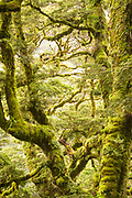 Landscape with lush foliage in moss-covered forest along Routeburn Track between Lake Mackenzie to Divide Shelter, South Island, New Zealand