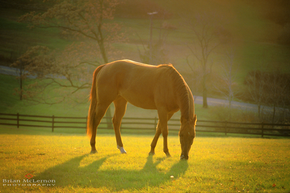 Thoroughbred horse grazing in an open pasture in Panther Valley, NJ