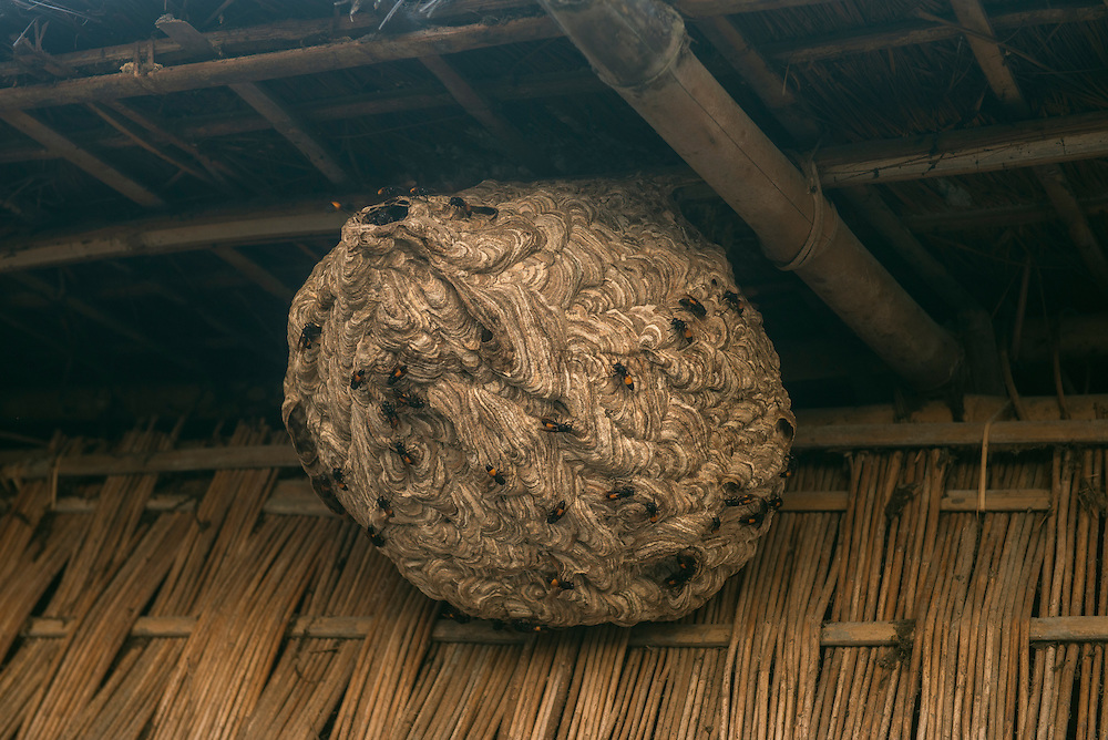 Hornet's nest in house<br /> Good luck to leave it there<br /> Mising Tribe (Mishing or Miri Tribe)<br /> Majuli Island, Brahmaputra River<br /> Largest river island in India<br /> Assam,  ne India
