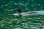 Great northern or common loon Gavia immer  on Killarney Lake<br /> Killarney Provincial Park<br /> Ontario<br /> Canada