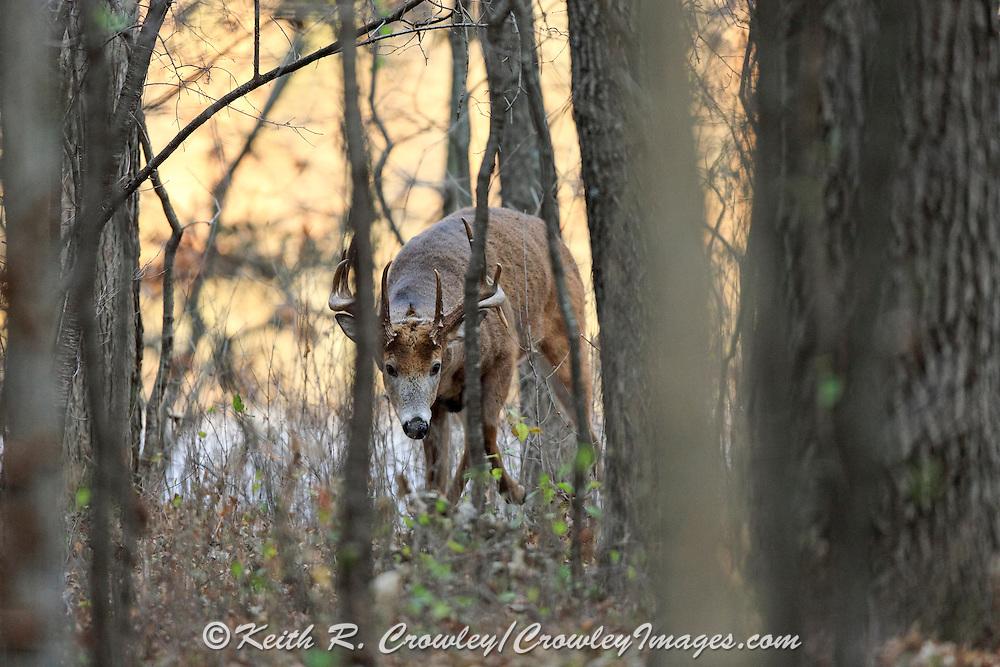 Whitetail buck in fall habitat