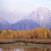 Grand Teton National Park, Canda Geese in flight as moose graze at Oxbow Bend. Fall.  Wyoming.
