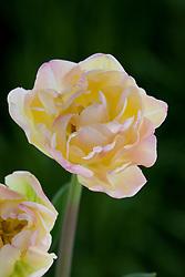 Tulipa Crème Upstar'