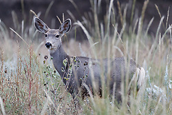 Mule deer buck, Vermejo Park Ranch, New Mexico, USA.