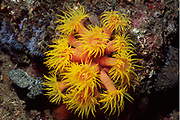 Yellow Cup Coral with polyps extended.(Tubastrea sp.).Lembeh Straits, Indonesia
