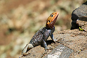 Male Red-headed rock agama (Agama agama) basking on a rock in the sun Photographed at Serengeti National Park, Tanzania