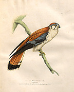 American kestrel color plates of North American birds from Fauna boreali-americana; or, The zoology of the northern parts of British America, containing descriptions of the objects of natural history collected on the late northern land expeditions under command of Capt. Sir John Franklin by Richardson, John, Sir, 1787-1865 Published 1829