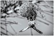 06-11-2017 Foto's genomen tijdens een persreis naar Buffalo City, een gemeente binnen de Zuid-Afrikaanse provincie Oost-Kaap. Areena Riverside Resort - Wevervogel, Cape Weaver
