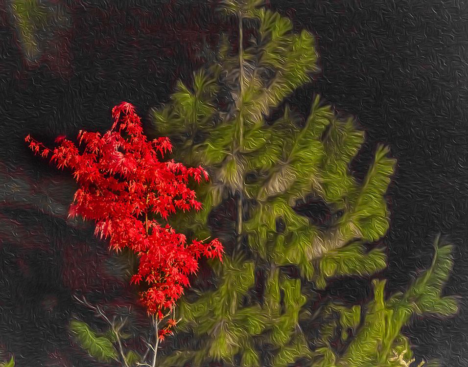 Japanese maple, October, domestic garden, Olympic Peninsula, Clallam County, Washington, USA