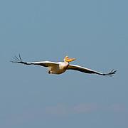 Pelican captured during the flight.