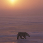 Polar Bear (Ursus maritimus) in blowing snow during a sunset at Cape Churchill, Manitoba, Canada.