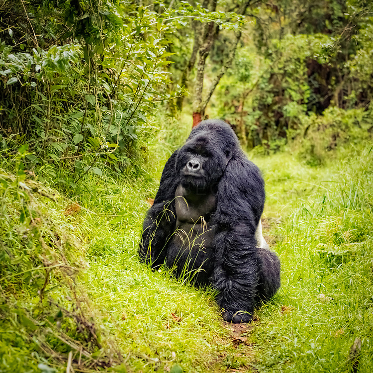 A large silverback gorilla on a path in Mgahinga National Park. Uganda.<br /> <br /> Limited Edition of 25