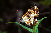 Crescentspot butterfly, Bennett's Bayou WIldlife Management area, Baxter County, Arkansas