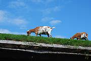 Restaurant with Goats on the Roof<br /> <br /> Al Johnson's Swedish Restaurant and Butik is a family owned, casual dining restaurant in the village of Sister Bay in Door County, Wisconsin, United States. The restaurant is known for its authentic Swedish cuisine and Scandinavian experience, but it is more commonly known for its sod covered roof where goats graze. Sod roofs or grass roofs are traditionally found in Scandinavian countries where the gently sloping wooden roof boards are covered with a layer of sod and grass, and is part of the Scandinavian experience Al Johnson's tries to deliver. The addition of goats give it a unique touch.<br /> <br /> Inside the casual, carpeted dining room, furnished with paintings, a massive stone fireplace, and wooden furniture, young ladies dressed in Scandinavian outfits serve food. The menu consists of a variety of Swedish fare, from pancakes with lingonberries to Swedish meatballs, whitefish, sandwiches, salads, and a variety of hot and cold plates.<br /> ©Al Johnson's/Exclusivepix Media