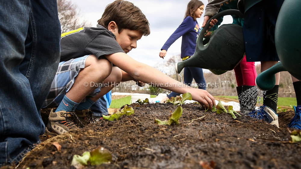 (4/27/15, MEDWAY, MA) Fourth-grader Thomas Creonte plants some lettuce at Medway Community Farm on Monday. The program has students from Medway Memorial Elementary plant gardens, harvest their crops, and sell the produce at a student-run farm stand. Daily News and Wicked Local Photo/Dan Holmes