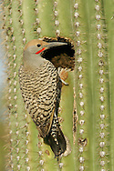 Gilded Flicker - Colaptes chrysoides - male