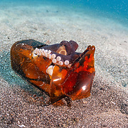 This sequence depicts a veined octopus (Amphioctopus marginatus) using a broken bottle as a portable shelter. The octopus was carrying a small crab that it had caught for a meal. Image 7 in a series of 15.