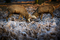 © Licensed to London News Pictures. 05/01/2017. London, UK. Deer stag seen rutting on a frozen landscape in Richmond Park, London as cold weather continues across the UK. Photo credit: Ben Cawthra/LNP