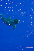 false killer whale, Pseudorca crassidens, rises up through a cloud of bubbles released by itself and members of its pod, Kona, Hawaii  ( Central Pacific Ocean )
