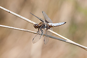 Broad-bodied chaser dragonfly at rest.
