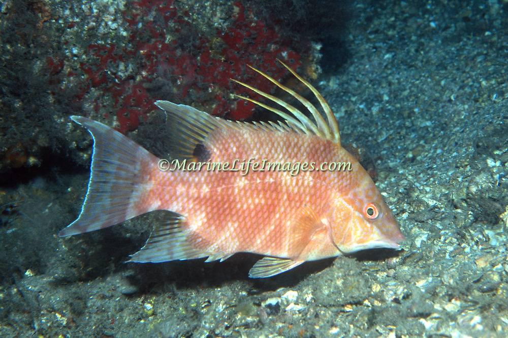Hogfish most commonly over open bottoms of sand and rubble, occasionally over reefs in Tropical West Atlantic; picture taken Blue Heron Bridge, Palm Beach, FL.