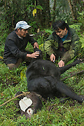Mountain or Woolly Tapir capture(Tapirus pinchaque)<br /> Cayambe Coca Ecological Reserve<br /> Andes<br /> ECUADOR, South America<br /> Range: Ecuador, Colombia, Peru<br /> ENDANGERED<br /> Caught by researchers