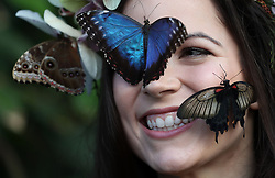 Model Jessie May Smart with Blue Morpho and a great Yellow Morman butterflies during a photocall for RHS Garden Wisley's Butterflies in the Glasshouse exhibition in Woking, Surrey.
