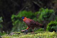 Temmincks tragopan pheasant, Tragopan temminckii, Chongqing region,  Sichuan, China