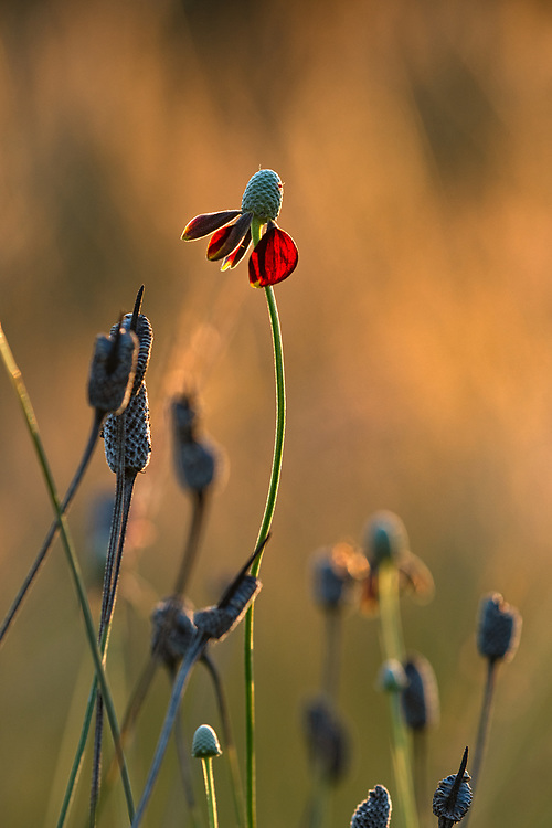 Texas prairie coneflower going to seed, a Texas Hill Country native wildflower