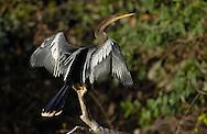 Anhinga (Anhinga anhinga), (sometimes called Snakebird, Darter, American Darter, or Water Turkey) Pantanal, Brazil.