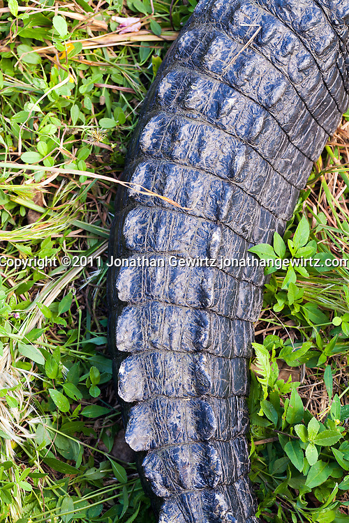 The tail of an American alligator (Alligator mississippiensis) in Everglades National Park, Florida. WATERMARKS WILL NOT APPEAR ON PRINTS OR LICENSED IMAGES.