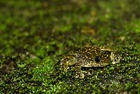 Camoufalage. Hong Kong cascade frog, Amolops hongkongensis) or Hong Kong torrent frog is a true frog from southern coastal China. Endemic to Hong Kong and Guangdong in the mainland China. In Hong Kong, it is a protected species under Wild Animals Protection Ordinance Cap 170. Tai Mo Shan Country Park, New territories, Hong Kong, China.<br /> This Image is a part of the mission Wild Sea Hong Kong (Wild Wonders of China).