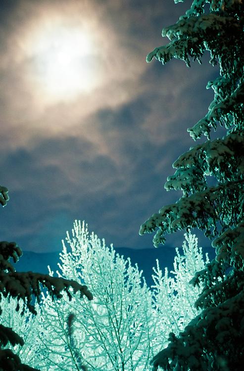 Alaska, Girdwood. Moonlight and hoar frost on cottonwoods. Heavy blanket of snow on spruce.