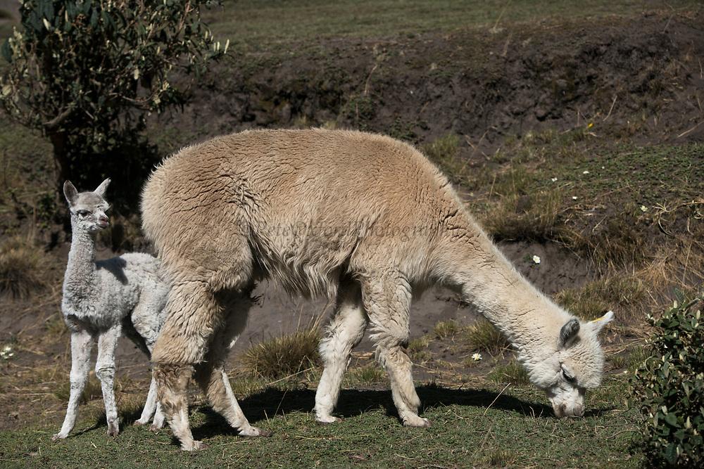 Alpacas (Vicugna pacos) mother & baby<br /> Pulingue San Pablo community<br /> Chimborazo Province<br /> Andes<br /> ECUADOR, South America