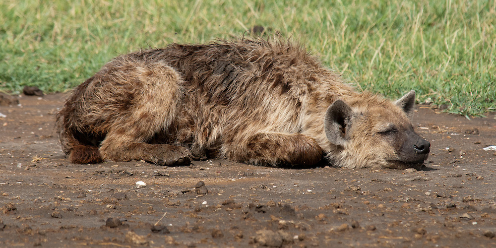 The Spotted Hyena lying on the road - Fisi