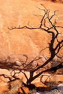 Pinion Pine (Pinaceae Pinus edulis) Arches National Park, Utah