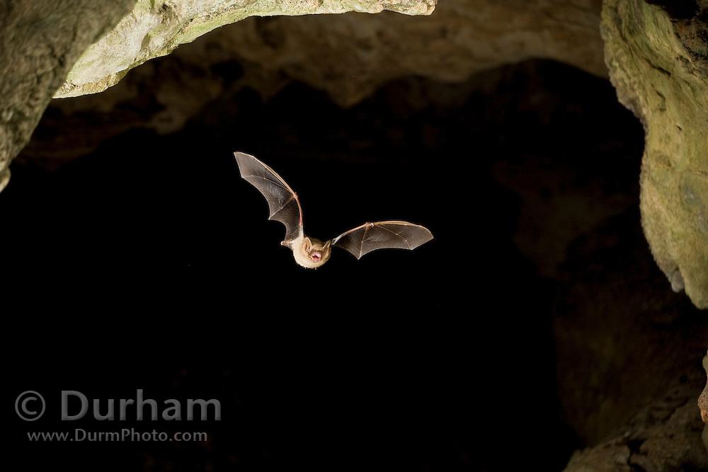 Tricolored bat (Perimyotis subflavus) formerly eastern pipistrelle (Pipistrellus subflavus), flying in a granite cave in Texas. © Michael Durham / www.DurmPhoto.com