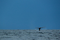 Humpback Whale (Megaptera novaeangliae)<br />throwing flukes and diving with storm clouds behind.<br /><br />Coiba Natioal Park<br />Panama