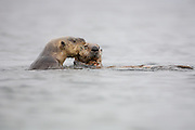 Sea otter mother pulling pup with mouth