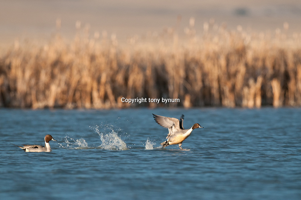 northern pintail drake on water, one running to take off from lake, brown wetlands background