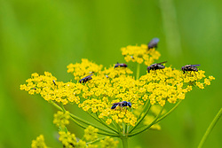 Several Stable Flies (Stomoxys calcitrans) search the blooms of Wild Parsnip (Pastinaca sativa) for pollen.