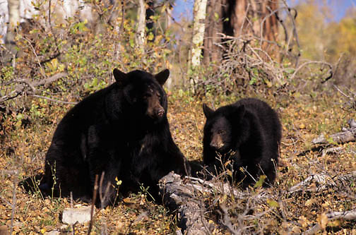 Black Bear, (Ursus americanus) Montana. Adult and young. Captive Animal.