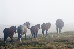 © Licensed to London News Pictures. 23/10/2019. Builth Wells, Powys, Wales, UK. Welsh mountain ponies graze in the fog on the Mynydd Epynt range near Builth Wells in Powys after a very cold night with temperatures dropping to around 1.5 deg C in parts of Powys. Photo credit: Graham M. Lawrence/LNP