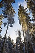 Powder snow falls from spruce tree (Picea abies) on snowy winter day in boreal forests, Kemeri National Park (Ķemeru Nacionālais parks), Latvia Ⓒ Davis Ulands | davisulands.com